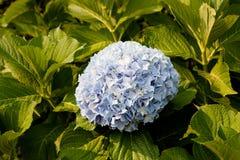 blå blommavanlig hortensia Arkivfoton