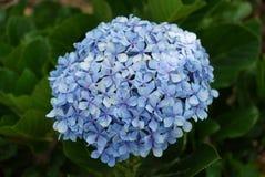Blå blommavanlig hortensia close upp Royaltyfri Fotografi