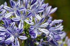 Blå blomningAgapanthus i en trädgård royaltyfri bild