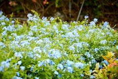 Blå blyerts blom- Bush i tropisk trädgård royaltyfria bilder