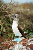 blå booby som kallar den footed galapagos maten Royaltyfri Bild