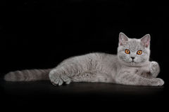 Blå brittish kattunge Royaltyfri Fotografi