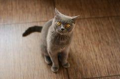 blå brittisk katt Royaltyfri Foto