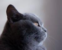 blå brittisk kattportret Arkivbilder