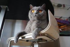 blå brittisk kattshorthair royaltyfria bilder