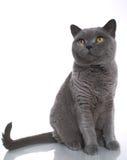 blå brittisk kattshorthair Arkivbilder