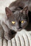blå brittisk kattunge Arkivfoto