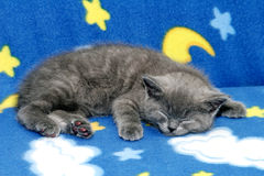 blå brittisk kattunge Royaltyfri Fotografi