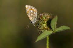 blå butterflyecommon Arkivfoto