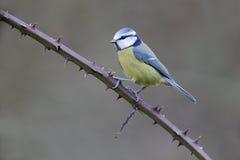 blå caeruleusparustit Arkivbilder