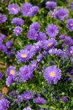 blå chrysanthemum royaltyfri fotografi