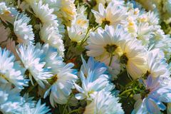 blå chrysanthemum arkivfoton