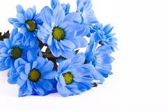 blå chrysanthemum Royaltyfri Foto