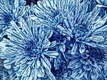 blå chrysanthemum arkivfoto