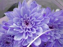 blå chrysanthemum En bukett av krysantemum fotografering för bildbyråer