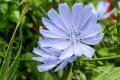 Blå cichoreiblommacloseup i grönt fält Royaltyfria Foton