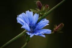 Blå cikoriablommacloseup fotografering för bildbyråer