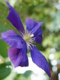 blå clematis Royaltyfri Foto