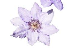 blå clematis Royaltyfri Fotografi