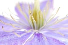 blå clematis royaltyfria foton