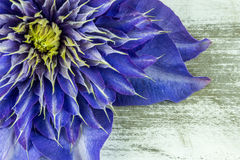blå clematis Royaltyfri Bild
