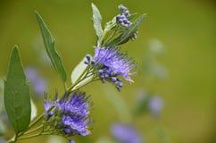 Blå closeup för stam för mistSpirea blomma Royaltyfri Bild