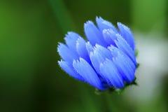 blå closeupblomma Royaltyfria Foton
