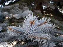 blå colorado spruce Royaltyfri Foto