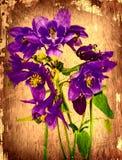 blå columbine blommatappning för bakgrund Arkivfoto