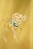 blå common Arkivbilder