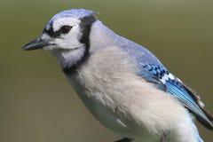 blå corvidcyanocitta jay Royaltyfri Foto