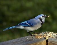blå cristatacyanocitta jay Arkivfoto