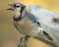 blå cristatacyanocitta jay Royaltyfri Fotografi
