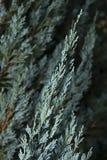 Blå cypress 1 Arkivbilder