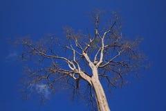 blå död skytree Royaltyfria Bilder