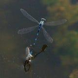 Blå Damselfly - Enallagma cyathigerm fotografering för bildbyråer
