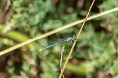 Blå damselfly på en stjälk av gräs royaltyfria foton