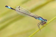 blå damselfly som äter den tailed flugan Arkivfoto