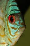blå diskusfisk Royaltyfri Bild