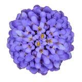blå djup isolerad white för blomma iberis arkivfoton
