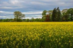 blå down blommar sikt för ängrapeseedsky Fotografering för Bildbyråer
