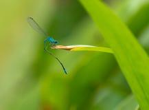 blå drake Arkivfoto