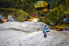 blå drakefluga Fotografering för Bildbyråer