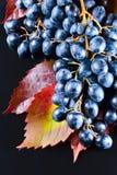 blå druva Arkivfoto