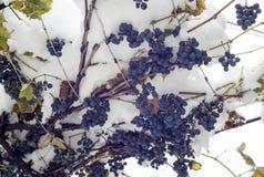Blå druva under snön arkivfoto