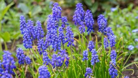 blå druvahyacint arkivfoton