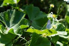 blå dubbad fjärilssilver Plebejus argus royaltyfria foton