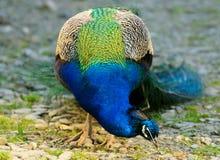 blå elektrisk påfågel Royaltyfri Bild