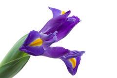 blå engelsk iridaceaeirislatifolia Arkivfoto
