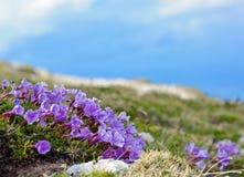 Blå enzian blomma Arkivfoto